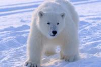 SVALBARD, l'orso polare